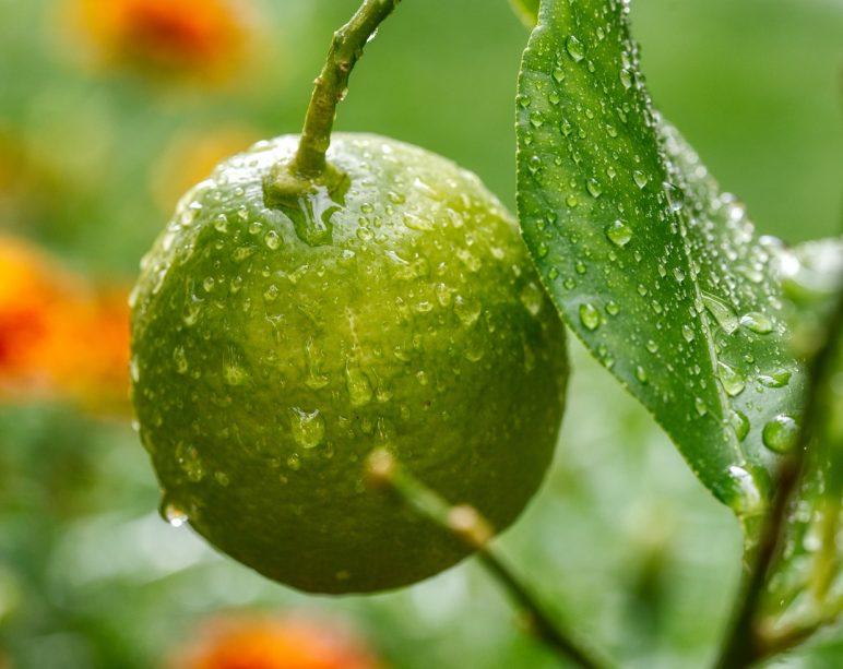 lemon, tree, fruit